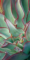 """Echeveria subrigida- Canvas Giclée Print, 21"""" x 42"""" - $750"""