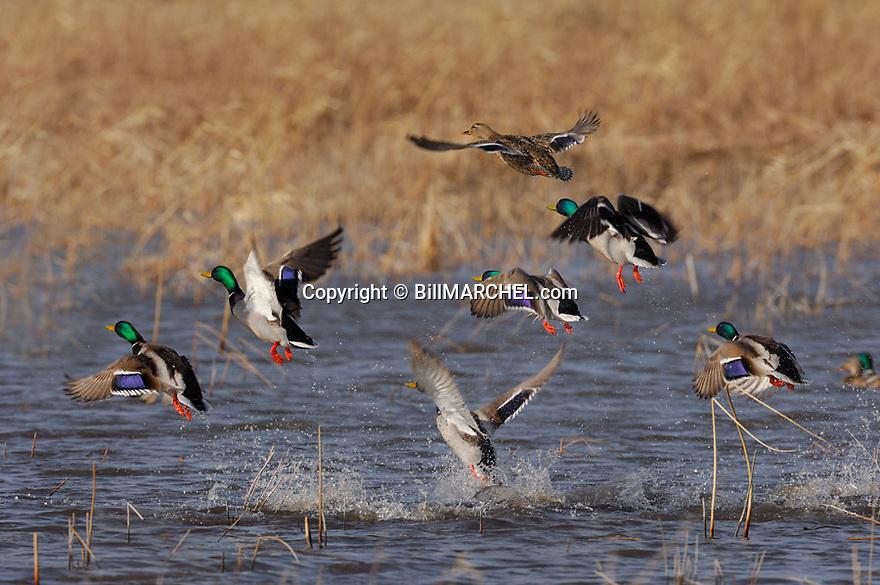 00330-074.19 Mallard Duck (DIGITAL) flock is taking flight from marsh.  Hunt, fly, action, waterfowl,  wetlands.   H2L1