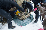 Snow Leopard (Panthera uncia) biologist, Shannon Kachel, and veterinarian, John Ochsenreiter, weighing male during collaring, Sarychat-Ertash Strict Nature Reserve, Tien Shan Mountains, eastern Kyrgyzstan