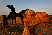A baby camel curiously looks on.<br /> From across the vast and parched Arabian Peninsula, camels converge on Abu Dhabi for an annual beauty contest. Here the traditional beast of burden becomes a pampered show animal.