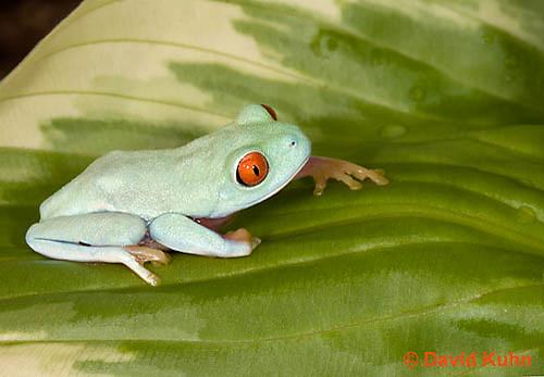 0306-0907  Red-eyed Tree Froglet (Young Frog), Agalychnis callidryas  © David Kuhn/Dwight Kuhn Photography.
