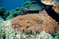 A Tasselled wobbegong, Eucrossorhinus dasypogon, lies lie a rug on a shallow coral reef, blending into the bottom with its camouflage. Waigeo Island, Raja Ampat, Papua, Indonesia, Pacific Ocean