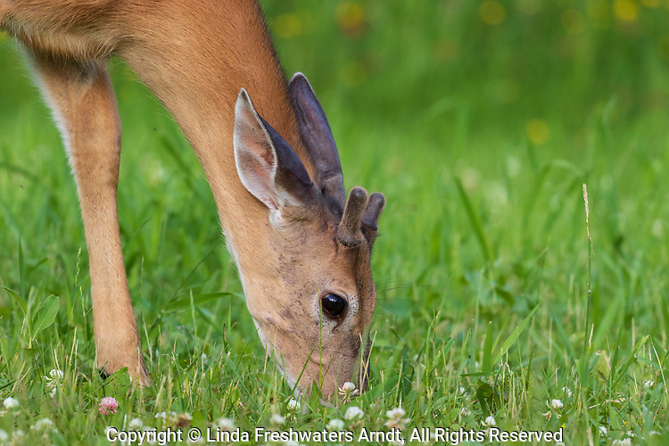 Young white-tailed buck browsing in a northern Wisconsin field,