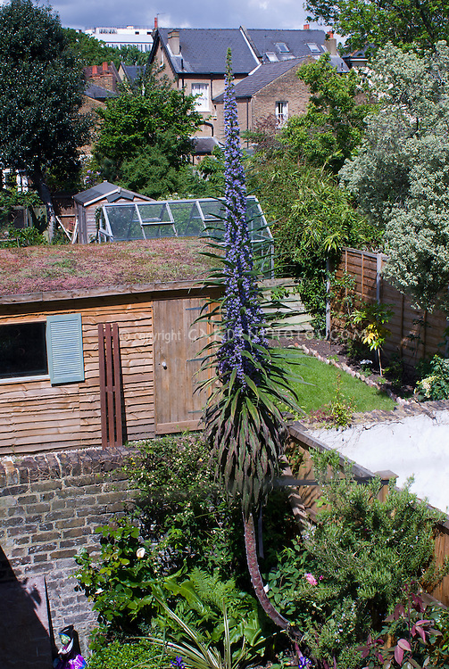 Echium pininana, giant tower of a plant in flower in back garden