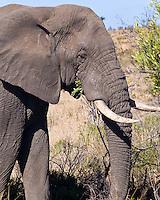 African Elephant, Kruger NP, SA
