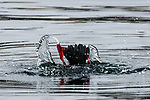 Black guillemot diving showing distintive red legs and feet.  This specie is a member of the Auk family.