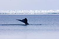 bowhead whale, Balaena mysticetus, in an open lead on the frozen Chukchi Sea, off Point Barrow, Arctic Alaska