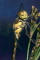 Große Heidelibelle, Sympetrum striolatum, Common Darter