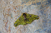 A moth on the way to Trongsa, Bhutan