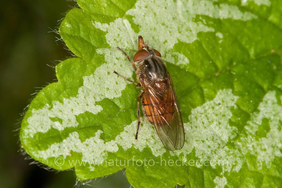 Feld-Schnabel-Schwebfliege, Schnabel - Schwebfliege, Schnabelschwebfliege, Gemeine Schnauzenschwebfliege, Schnauzen-Schwebfliege, Rhingia campestris, Common Snout-hoverfly