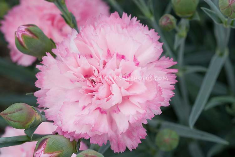 Dianthus 'Candy Floss' Scent First series fragrant perennial closeup of pink scented flowers