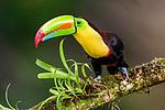 Adult keel-billed toucan (Ramphastos sulphuratus) in forest canopy. Boca Tapada, north east Costa Rica.
