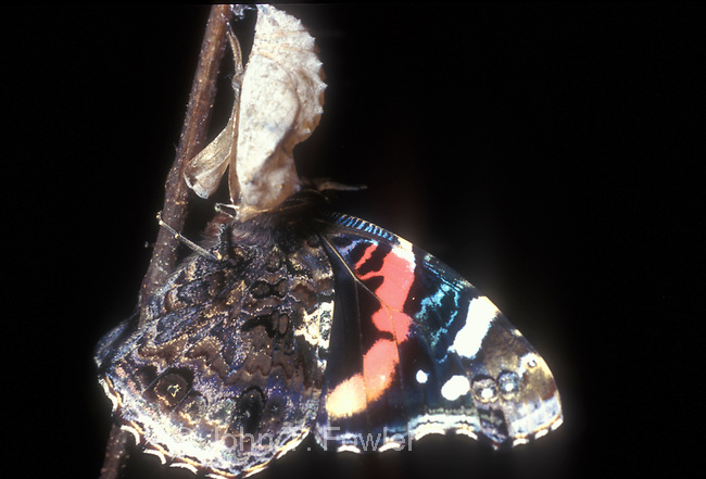 Red Admiral Butterfly emerging from chrysalis
