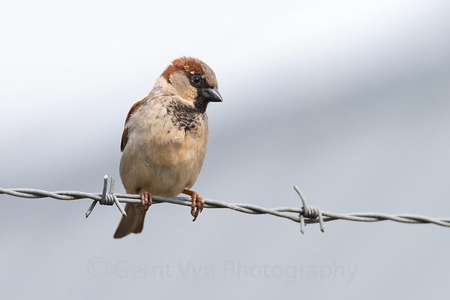 House Sparrow (Passer domesticus). Portland, Oregon. May.