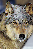Gray Wolf (Canis lupus) with dusting of snow.