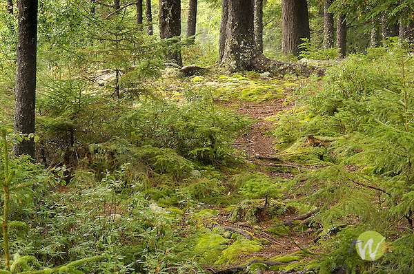 Moody pathway at Allagash Camps with moss and vibrant greens.