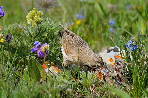 Female Horned Lark or Shore Lark (Eremophila alpestris) feeding young at nest.  Western U.S., Summer.