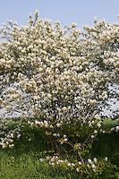 Kupfer-Felsenbirne, Kupfer - Felsenbirne, Amelanchier lamarckii, Juneberry, Serviceberry, Amélanchier