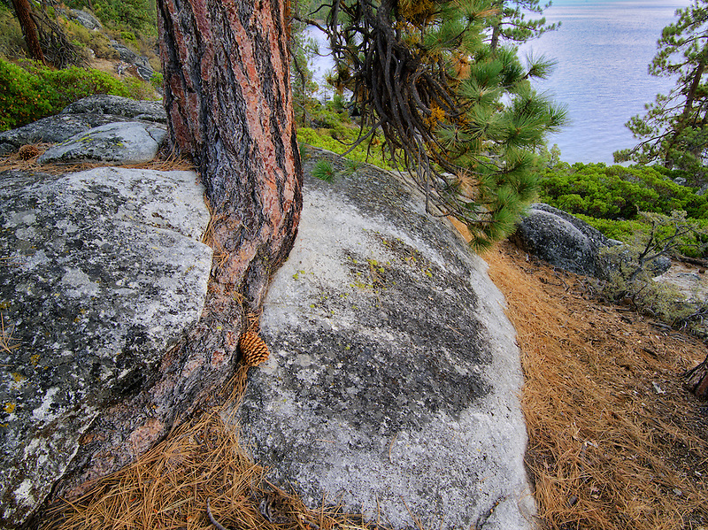 Ponderosa Pine tree struggling to grow in granite rock crack and Lake Tahoe. Lake Tahoe, California/Nevada