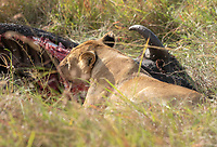 A female Lion, Panthera leo  melanochaita, eats a Cape Buffalo, Syncerus caffer, in the Trans Mara area west of Maasai Mara National Reserve, Kenya
