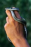 Ringelnatter, Ringel-Natter, Natter, völlig harmlose Schlange, Natrix natrix, grass snake