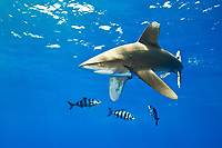 oceanic whitetip shark, Carcharhinus longimanus, with pilot fish, Naucrates ductor, Kona Coast, Big Island, Hawaii, Pacific Ocean