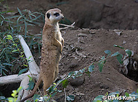 0329-1016  Meerkat on Lookout, Suricata suricatta  © David Kuhn/Dwight Kuhn Photography.