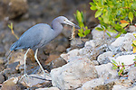 Ding Darling National Wildlife Refuge, Sanibel Island, Florida; a little blue heron catches a crayfish while foraging for food in the shallow water along the rocky shoreline in the early morning