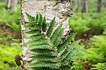Fern and birch tree.
