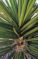Northern Mockingbird, Mimus polyglottos, young in nest in Trecul Yucca (Yucca treculeana), Willacy County, Rio Grande Valley, Texas, USA