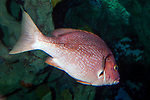 Red snapper swimming 45 degrees away from camera.