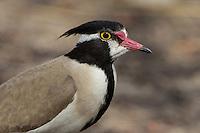Black-headed Lapwing at Niokolakoba Reserve