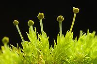 Mannweibiges Streifensternmoos, Streifensternmoos, Streifen-Sternmoos, Aulacomnium androgynum, Bud-headed Thread Moss