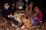 Mountain Lion (Puma concolor) biologists, Chris Wilmers, Theo Wilmers, Richie King, Chris Fust, and Justine Alyssa Smith, collaring sub-adult male, Santa Cruz Puma Project, Santa Cruz, Monterey Bay, California
