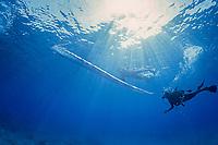 giant oarfish, kingof herrings, Regalecus glesne or Regalecus russelii, deep sea fish, found to depths of 3000 feet, the longest bony fish in the ocean growing up to 50 feet in length, Amami-ohsima island, Kagoshima, Japan, Pacific Ocean