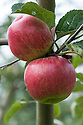 """Apple 'Hofingers Himbeerapfel', mid September. """"Dessert, November to March, rather large, round, slightly rounded to eye. Colour, pale yellow, shaded nearlly all over with rich carmine, approaching 'Gascoynes Seedling' in colour. Flesh, greenish-white, slight musky flavour. Eye, closed, in a very deep and slightly irregular basin. Stem, short <br /> and stout, in a moderately deep cavity, rather irregular in shape. Growth, compact, upright spreading. Leaf, <br /> upheld and upfolded, regularly crenate. Origin, found by Liegel in the Rev. Hofinger's garden, at St. Peters, Brunau, before 1851. Of no merit except for its lovely colour."""" (A HANDBOOK OF HARDY FRUITS MORE COMMONLY GROWN IN <br /> GREAT BRITAIN, APPLES AND PEARS BY EDWARD A. BUNYARD, F.L.S., LONDON, JOHN MURRAY, ALBEMARLE STREET,1920)"""