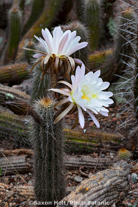 Trichocereus lamprochlorus (syn.  Echinopsis lamprochlora, Cereus lamprochlorous) Green Torch cactus flowering in University of California Berkeley Botanical Garden