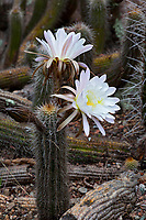 Trichocereus lamprochlorus (syn.  Echinopsis lamprochlora, Cereus lamprochlorous) Green Torch cactus flowering in University of California Berkeley Botanical Garden