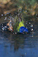 Painted Bunting, Passerina ciris, male bathing, Lake Corpus Christi, Texas, USA, May 2003