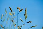 Europa, DEU, Deutschland, Nordrhein-Westfalen, Niederrhein, Gras, Blueten, Sueßgraeser, Gewoehnliches Knaeuelgras (Dactylis glomerata), auch Wiesen-Knaeuelgras oder Knaulgras, Natur, Umwelt, Pflanzen, Pflanzenkunde, Botanik, Biologie, <br /> <br /> [Fuer die Nutzung gelten die jeweils gueltigen Allgemeinen Liefer-und Geschaeftsbedingungen. Nutzung nur gegen Verwendungsmeldung und Nachweis. Download der AGB unter http://www.image-box.com oder werden auf Anfrage zugesendet. Freigabe ist vorher erforderlich. Jede Nutzung des Fotos ist honorarpflichtig gemaess derzeit gueltiger MFM Liste - Kontakt, Uwe Schmid-Fotografie, Duisburg, Tel. (+49).2065.677997, ..archiv@image-box.com, www.image-box.com]
