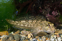 Schan, Schleimlerche, Lipophrys pholis, Lipophris pholis, Blennius pholis, Shanny, Le Mordocet, Schleimfisch, Schleimfische, Blenniidae, combtooth blenny, Combtooth blennies