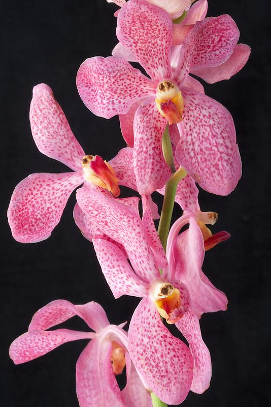 Close up of Makara Orchid.