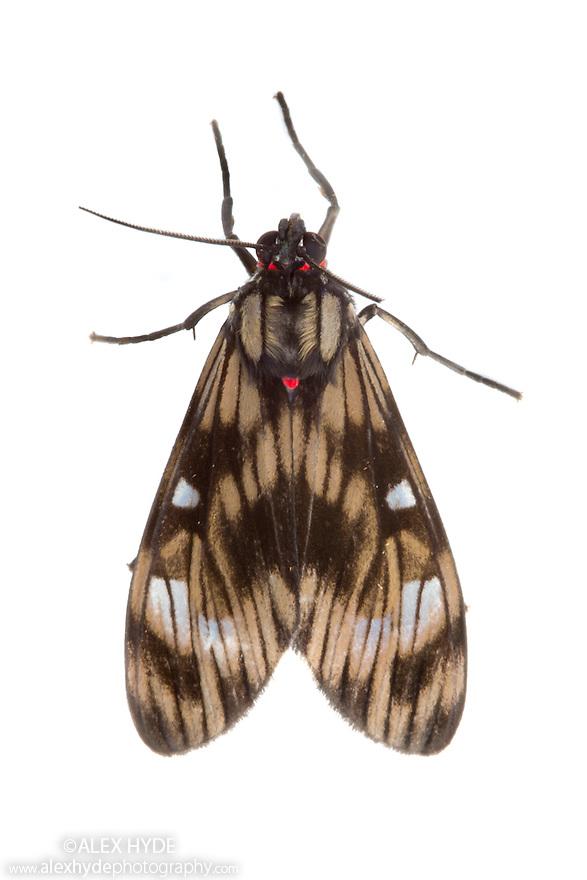 Moth {Episcepsis demonis} photographed on a white background in mobile field studio. Cordillera de Talamanca mountain range, Caribbean Slopes, Costa Rica. May.