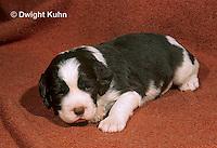SH21-013z  Dog - English Springer puppies 11 weeks old