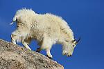 Mountain Goat on rocky ledge