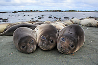 """Southern Elephant Seal (Mirounga leonina), immatures or """"weaners"""" resting on the beach at Sandy Bay, Macquarie Island, Australia."""