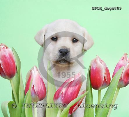Xavier, ANIMALS, dogs, photos, SPCHdogs809,#A# Hunde, perros