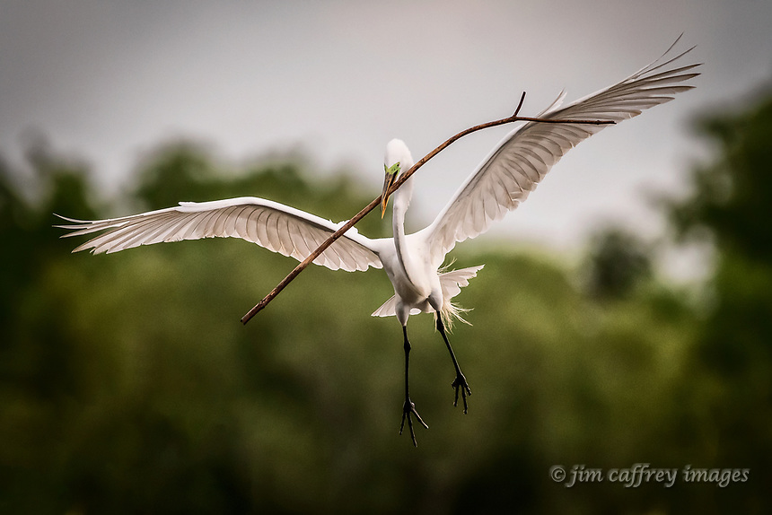 A male great egret in flight with nesting material at Smith Oaks Rookery near High Island, Texas