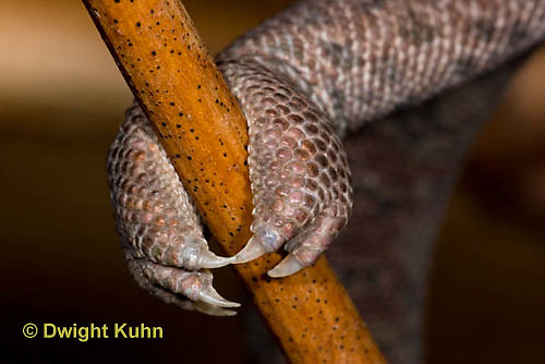 CH41-506z   Veiled Chameleon, close-up of grasping foot and sharp claws, Chamaeleo calyptratus