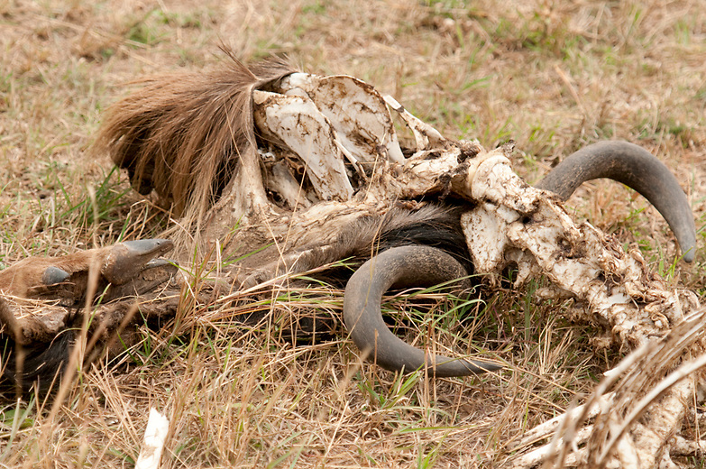 Many wildebeests fall victim to the rigorous migration journey. Not all are victims of the predators though. Some may collapse from the tough endless migration journey as others may die from the 'turning disease', caused by moth larvae burrowing into the animals inner ear and brain causing imbalance thus the turning and inevitable death.